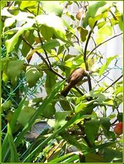 Yellow-vented bulbul feasting on the juicy fruits of Wax Jambu