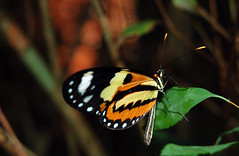 Butterfly ! (crenan) Tags: macro me beauty butterfly d50 interesting nikon calendar natural photos natureza fast explore borboleta santamaria score insetos naturesfinest blueribbonwinner d80 scoremefast cmeradeourobrasil crenan grupo1a10brasil visofotogrfica carlosrenanpiressantos