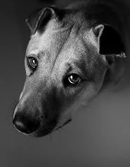 Little Miss Ellie (charleebear) Tags: dog mutt mix ellie blonde guide pei shar