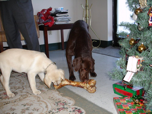 chocolate and yellow labradors - Christmas
