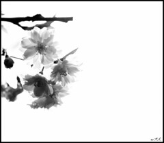 Zen Sakura