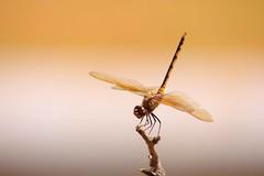 libélulacomfundodesfocado - by Fábio Pinheiro