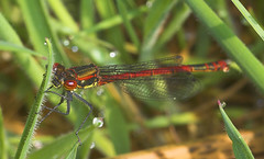 """Large Red Damselfly (Pyrrhosoma nymp(11) • <a style=""""font-size:0.8em;"""" href=""""http://www.flickr.com/photos/57024565@N00/480187737/"""" target=""""_blank"""">View on Flickr</a>"""