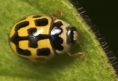 "Fourteen Spot Ladybird (propylea 14 p(4) • <a style=""font-size:0.8em;"" href=""http://www.flickr.com/photos/57024565@N00/481274246/"" target=""_blank"">View on Flickr</a>"