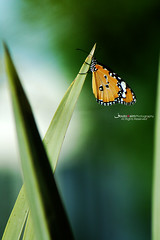 oh butterfly (Fatma S) Tags: summer beautiful butterfly fly dream oh creature naturesfinest