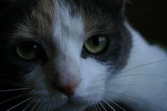 sophie bear ( ScD  Sht) Tags: cute love cat sophie boc0807