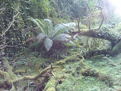 Giant Fern 2