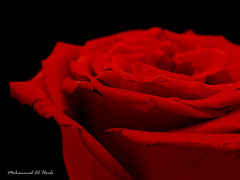 Red ... (Mohd Al-Harbi) Tags: red black flower macro rose closeup kuwait colorphotoaward searchandreward