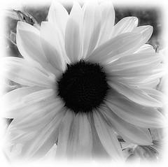 for mothers (jobarracuda) Tags: bw flower lumix bulaklak fz50 naturesfinest panasoniclumix dmcfz50 jobarracuda