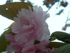八重桜 横向き