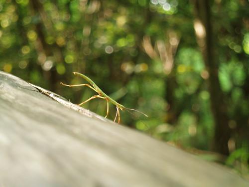 ナナフシ stick insect