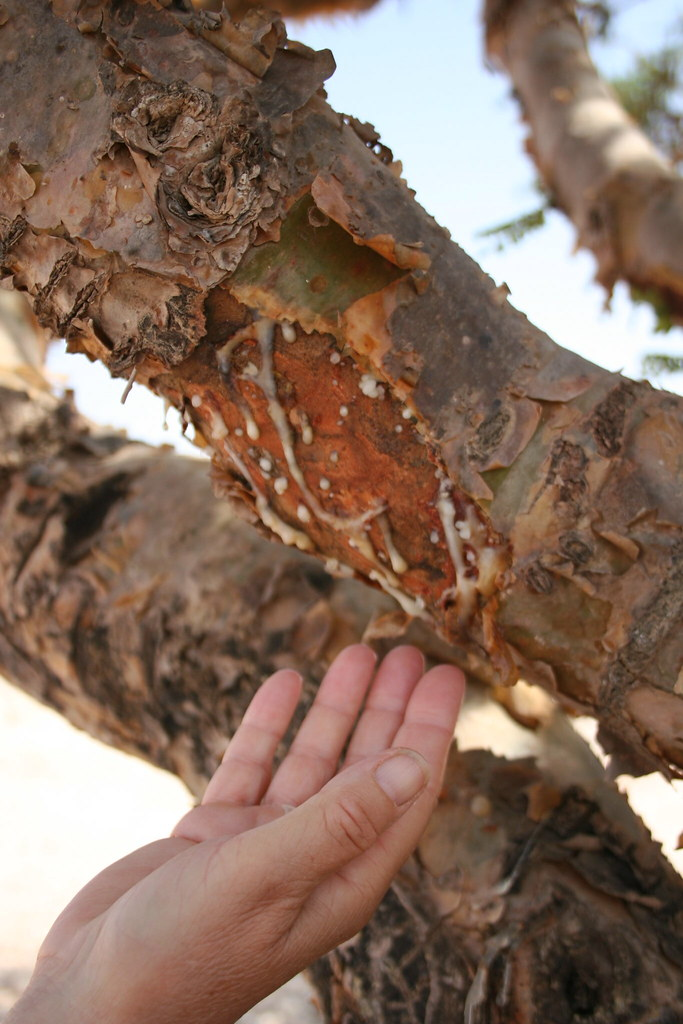 Frankincense tree in a wadi in Dhofar Southern Oman  : frankincense gum oozing from stripped bark