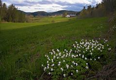 Malvik in May #3 (Krogen) Tags: nature norway landscape norge spring natur norwegen olympus c7070 noruega vår krogen landskap noorwegen noreg trøndelag malvik buaasen