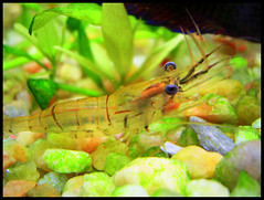 Gamba (DeFerrol) Tags: aquarium animalplanet acuario prawn gamba naturesfinest supershot