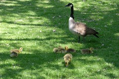 Mother Goose and her baby goslings