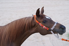 (a_sufian_k) Tags: horse classic beautiful beauty dish head chestnut arabian halter decoratedanimal