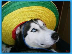 Que Viva Mejico!!!!!! (aunqtunolosepas♥) Tags: dog pet pets cute dogs hat animal animals mexicana puppy mexico puppies husky funny bea gorro sweet huskies cutie luna perro cap perros animales lovely cuteness mexicano mascota mascotas lunita luni divertido mejico mejicana mejicano aunqtunolosepas pet500 cmccal08