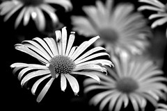 Theres always one that stands out in a crowd.. (Lowry Lou) Tags: flowers bw flower fly interestingness dof crowd exploremay17th2007276