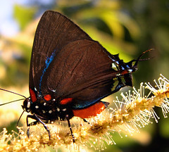 Great Purple Hairstreak Atlides halesus (sojourner photography) Tags: butterfly texas upcloseandpersonal inmygarden greatpurplehairstreakatlideshalesus