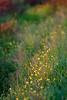 Evening 向晚 (olvwu | 莫方) Tags: flowers usa macro green grass ga georgia dusk savannah jungpangwu oliverwu oliverjpwu olvwu jungpang 莫方 吳榮邦