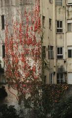 Autumn Red/Rojo Otono (♡ Popotito ♡) Tags: autumn naturaleza building nature argentina leaves hojas edificio ivy grapevine otono enredadera