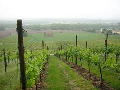 vinyards