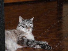 Geo (silgeo) Tags: cute animal cat kitty geo gatto animale bestofcats