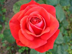 rose1 (Adlin Hisyamuddin) Tags: macro turkey bodrum dsch2