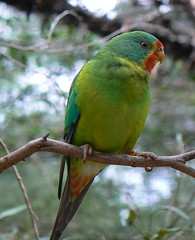 Swift Parrot (ianmichaelthomas) Tags: friends birds healesvillesanctuary parrots birdwatcher australianbirds smorgasbord animaladdiction goldenmix avisittothezoo beautifulbirds wildlifeofaustralia colourfulbirds animalcraze swiftparrot worldofanimals auselite naturewatcher wonderfulworldmix healesvillesanctuaryvictoriaaustralia itsazoooutthere showmeyourqualitypixels flickrlovers vosplusbellesphotos flickrsbestcreatures