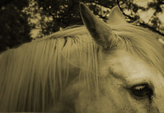 The Secret Life of Daydreams (inspireer) Tags: horse color sepia focus 50mmf28