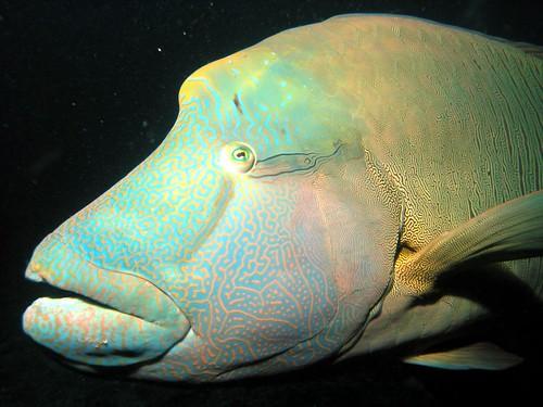 Cheilinus undulatus سمكة نابليون شاحنة