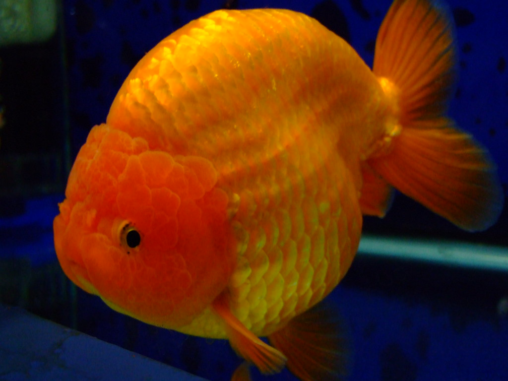 The world 39 s best photos of fat and goldfish flickr hive mind for What are fatty fish