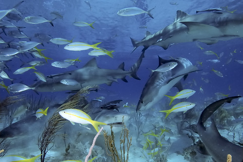 Tiger Shark Feeding Frenzy