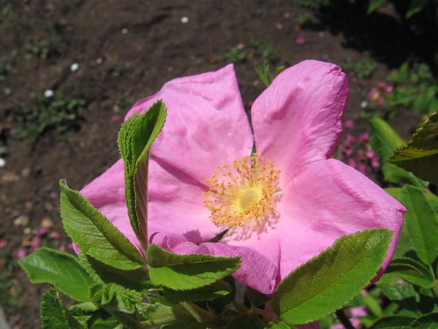 k-rose6