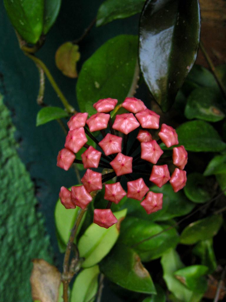 183129072 36667359c6 b Hoya Carnosa: Flor de Nácar, de cera, Cerilla o Flor de Porcelana