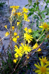 Flowers in the dunes (Craig James White) Tags: ontario canada portelgin saugeenshores