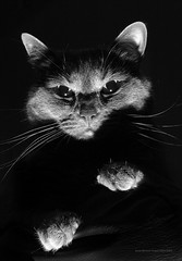 Superiority Complex (Joshb60796) Tags: pitten cat kitty kitten feline russian blue hard light shadows blackground black ground dark negative space white bw
