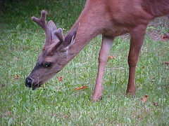 Young Buck Deer in Anna Leigh's Yard (Pixel Packing Mama) Tags: animals deer oregonwildlife buckdeer pixelpackingmama dorothydelinaporter worldsfavorite cbat uploadedtoflickr2005set favupmovedtofavoritedpixvol2 favoritedpixvolii~1sthalfof2009set pixelpackingmama~prayforkyronhorman oversixmillionaggregateviews over430000photostreamviews