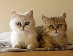 Lua y Ling (_Xti_) Tags: gato gatos cat cats exotic persian exoticcat exoticcats lua ling katzen gatto gatti ktzchen mo kitty furry cutecat feline felines gata gatas chat silver golden sorthair pet pets eyes kaz ket mau exoticsorthair fantastic