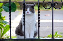 let me in (Blackwings) Tags: cat grey white fence animal nature 110fav 510fav topv111