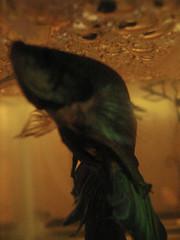 Turq caring for the nest (flaring) Tags: betta splendens spawn eggs fry bubblenest fish aquaria