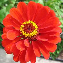 Circle (shutterBRI) Tags: 2005 red flower macro canon photography photo powershot a80 redflower shutterbri brianutesch brianuteschphotography