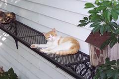 Cats cats cats! (Arrow Rock, Missouri, 20050703) 15 (rsgranne) Tags: summer cats animals rural funny country humor mo missouri summer2005 arrowrock
