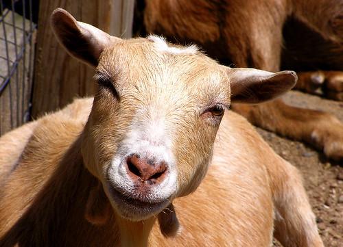 smiling goat