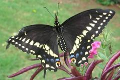 male Black swallowtail  (Papilio polyxenes) 2 of 3 (mimbrava) Tags: butterfly mimbrava blackswallowtail papiliopolyxenes setlepidoptera