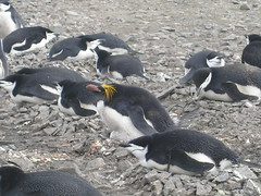 Odd One Out (tim ellis) Tags: holiday bird penguin antarctica photofriday livingstonisland macaronipenguin chinstrappenguin pygoscelisantarctica hannahpoint msh0606 msh060610 eudypteschrysolophus bigpicture2008