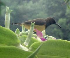Dscf15302 (ila_) Tags: sunbird