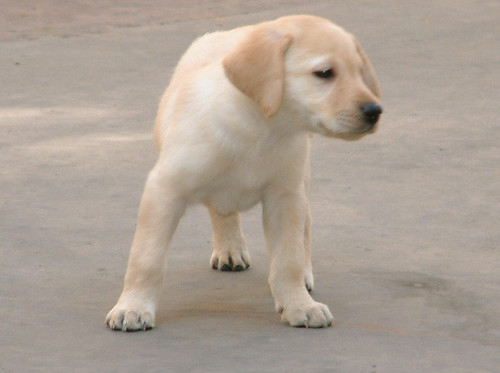 Labrador Retriever by catdogarden.