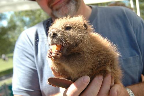 American Beaver kit at