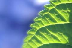 Color of a hydrangea. () Tags: lens hydrangea flower